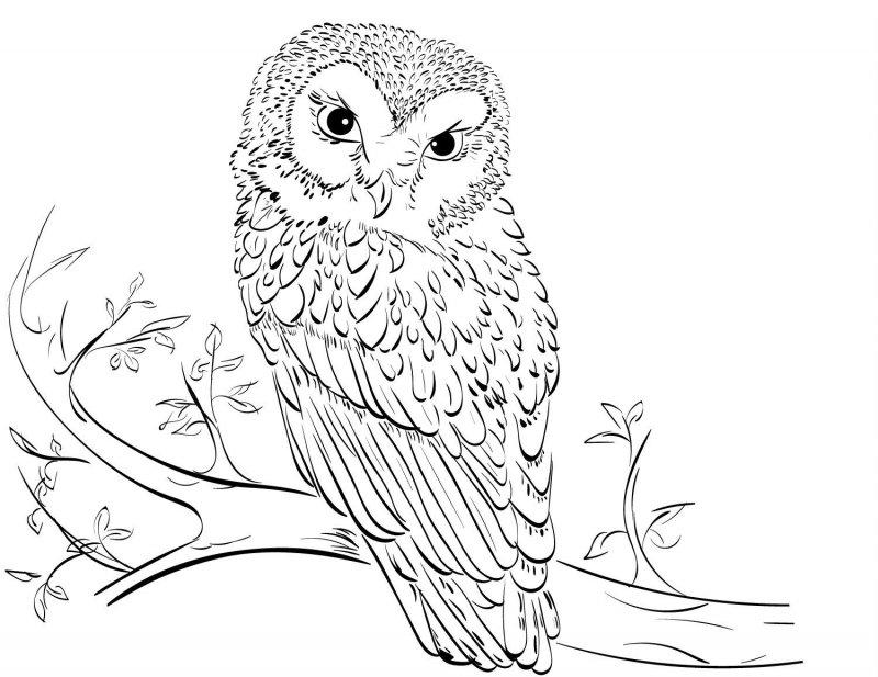 Desene Cu Bufnite De Colorat Imagini și Planșe De Colorat