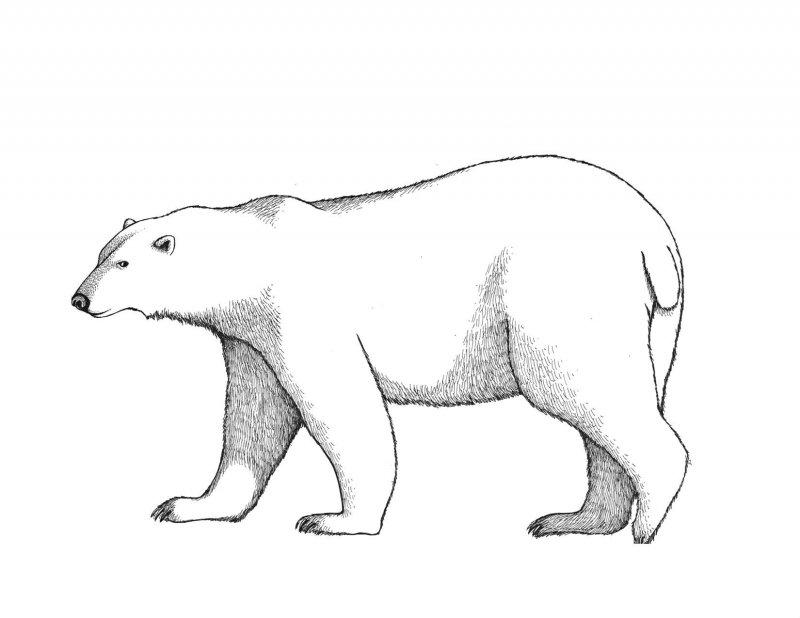 Desene Cu Ursul Polar De Colorat Imagini și Planșe De
