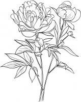 Desene cu Bujori de colorat, imagini și planșe de colorat cu flori Bujori