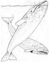 Desene cu Balene Albastre de colorat, planșe și imagini de colorat cu Balene Albastre